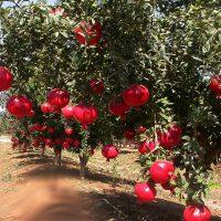 1280px-anarpomegranate